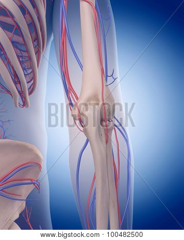 medically accurate illustration of the circulatory system - elbow