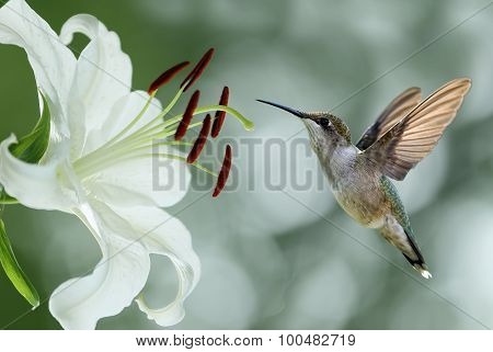Hummingbird (archilochus Colubris) Hovering Next To A Pretty Lily Flower
