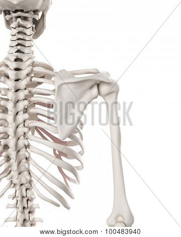 medically accurate illustration of the skeletal system - the shoulder