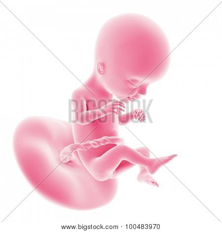 illustration of the fetal development - week 17