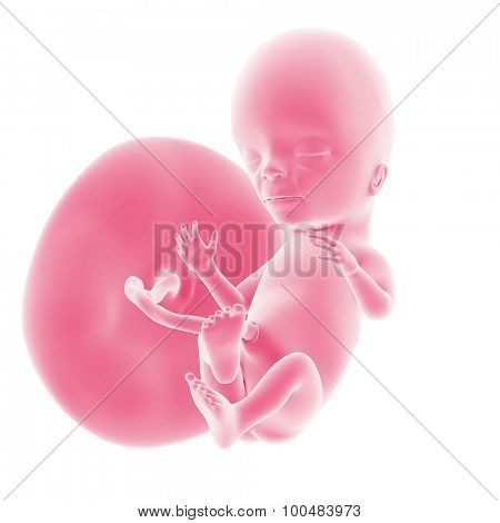illustration of the fetal development - week 15