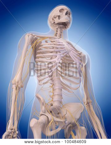 medically accurate illustration - nerves of the  upper body