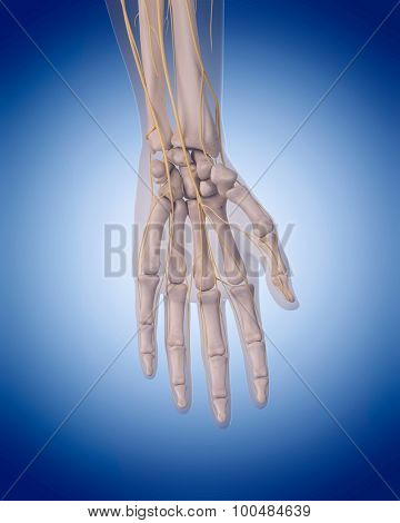 medically accurate illustration - nerves of the  hand
