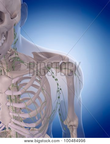 medically accurate illustration of the lymphatic system - the