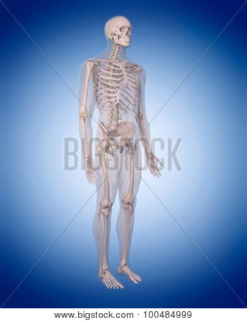 medically accurate illustration of the lymphatic system