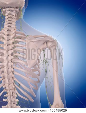 medically accurate illustration of the lymphatic system - the shoulder