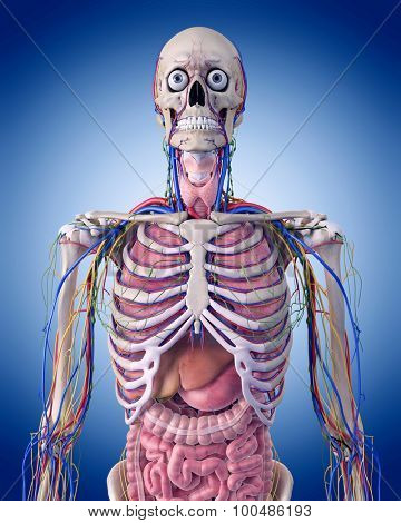 medically accurate illustration of the thorax anatomy