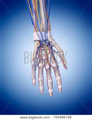 medically accurate illustration of the hand anatomy