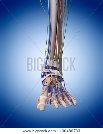 medically accurate illustration of the foot anatomy