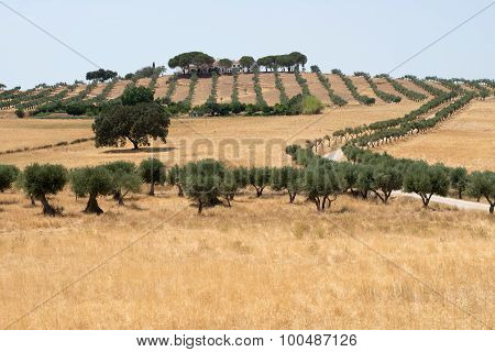 Cork trees in an Alentejo landscape