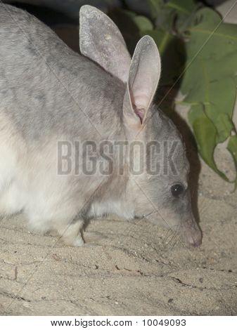 close up of an Australian Bilby