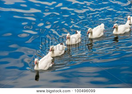 White Ducks Swimming In The Pond Together