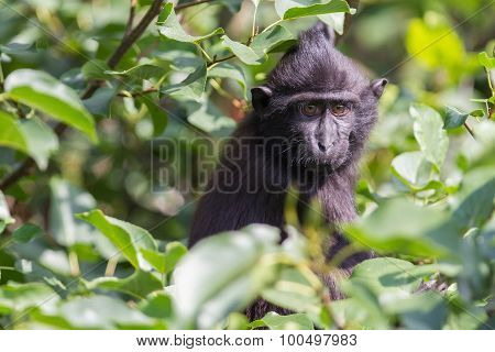 Young Celebes Crested Macaque