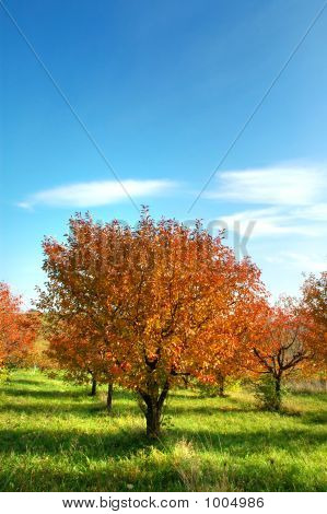 Cherry-Tree In Autumn Colors 2