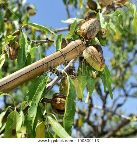 closeup of a stick hitting the branches of an almond tree during the harvesting