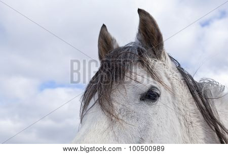 Arabian mare, horse head.