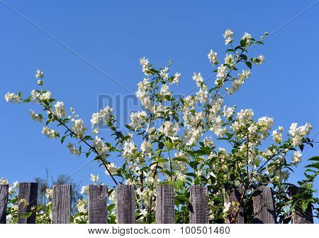 Blossoming apple and fence