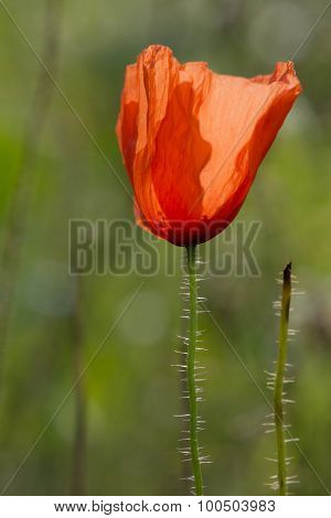 Abstract Poppy Rose