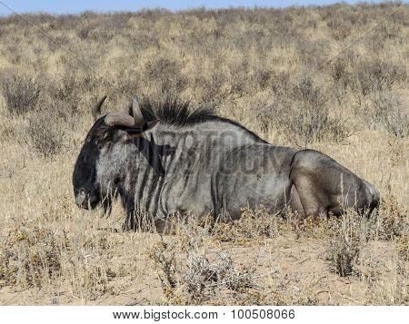Buffalo In Kgalagadi Transfrontier Park