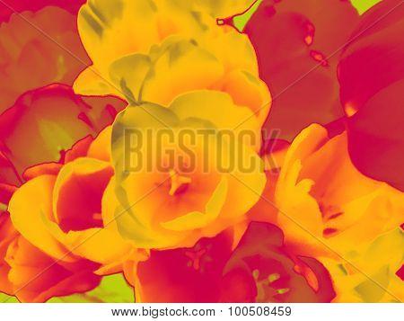 Bright magenta-yellow tulip flowers background