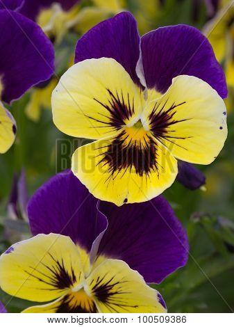 Bicolor Flower Viola