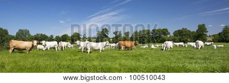 Panoramic View Of Cows