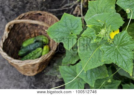 Cucumbers In A Wattled Basket, Selective Focus