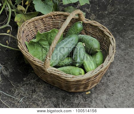Harvest Cucumbers In A Wattled Basket, Selective Focus
