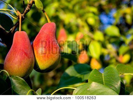 Pears Autumn.