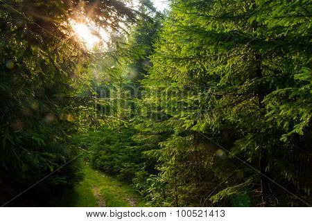 Beautiful pine trees on  mountains