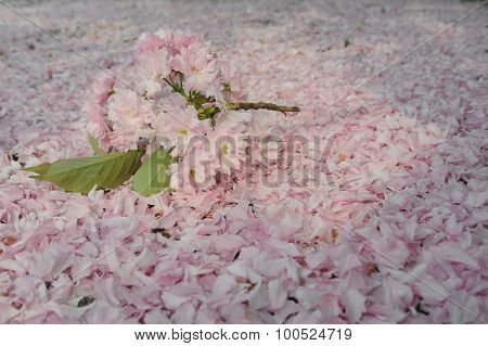 Sakura Bouquet On Ground