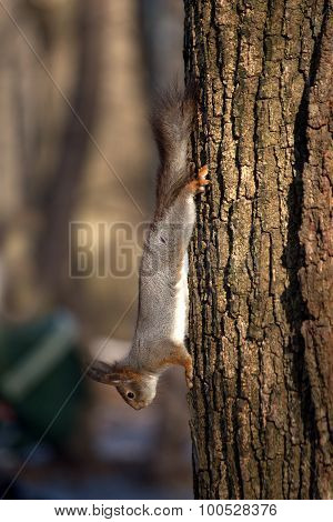 Squirrel runs down on tree trunk