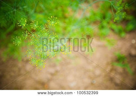 Dill Weed Plant in Garden