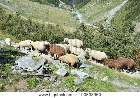 Flock of sheeps in the mountains near Trift glacier. Switzerland