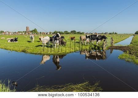 View On Ransdorp With Cows