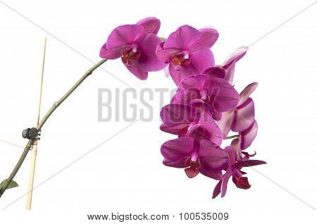 Phalaenopsis Orchid Flowers (butterfly Orchid)