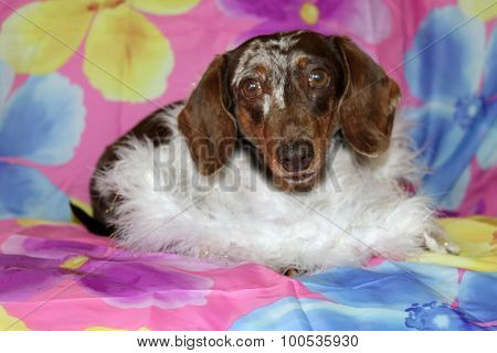 A Beautiful Dachshund Puppy aka Wiener Dog shows off her unique style and fashion statement as he wears and models a White Feather Boa. Wiener Dogs and Dachshunds are loved by millions.