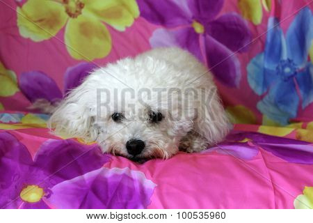 A beautiful purebred female white Maltese Puppy smiles as she lays upon a colorful flower pattern silk background as she has her portrait taken. White Dogs are loved by people around the world.
