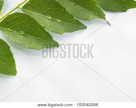 close up of the curry leaf