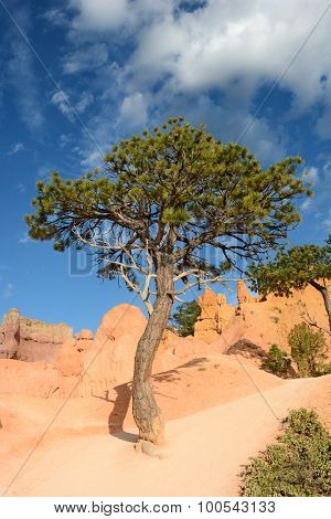 A Bristlecone Pine tree along the Queens Garden Trail in Bryce Canyon National Park.