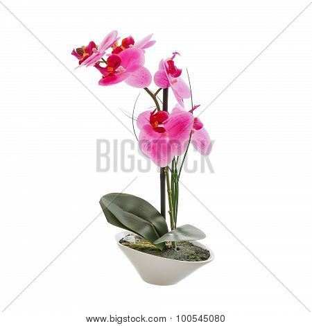 Pink orchid flower, phalaenopsis in a pot