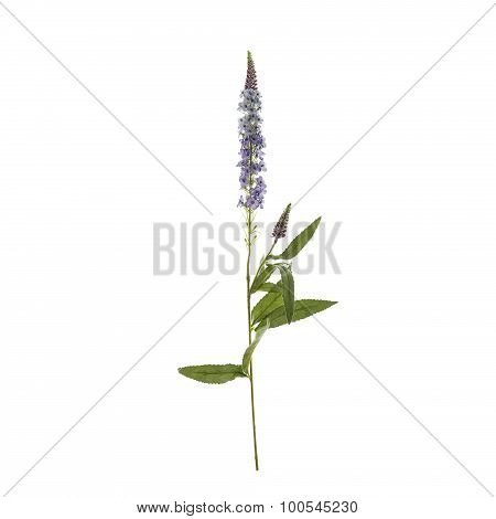 Textile Speedwell flowers