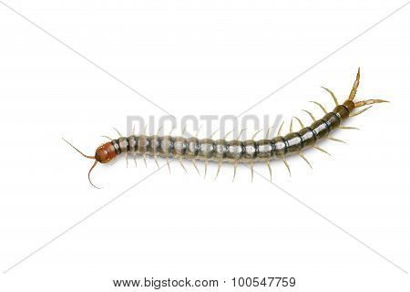 Centipede Isolated On White W