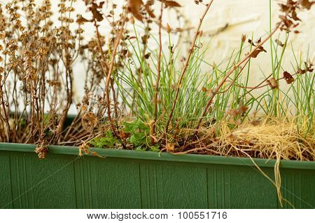 Overblown herbs in plastic window box with rustic white background.