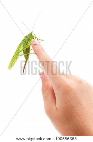 Grasshopper On Forefinger