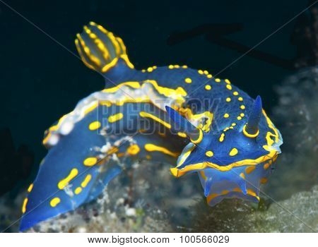 nudibranch blue