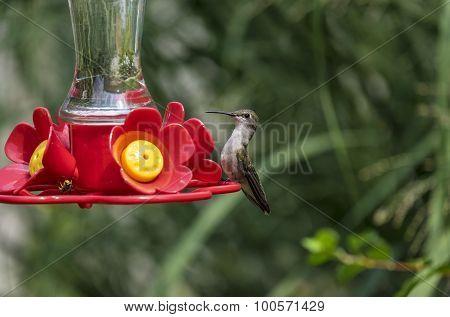 Female Red Throat Hummingbird at a Backyard Feeder