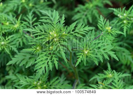 American Common Ragweed