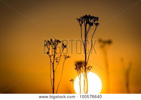 wild plant on big sun background sunset