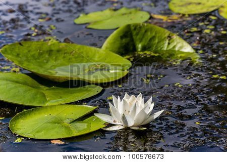 Nice white water lily flower in lake water